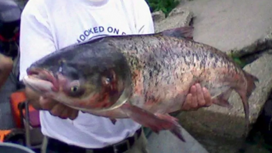 Photo of Great Lakes mayors call for action, alternatives to dealing with invasive Asian carp