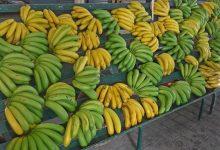 Photo of Banana biológica é exportada