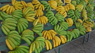 Photo of Banana biológica é exportada