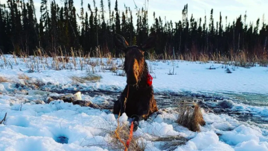 Photo of Ice fisher has 2nd thoughts about hunting after rescuing female moose from lake
