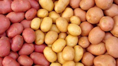 Photo of Produção de batata em risco