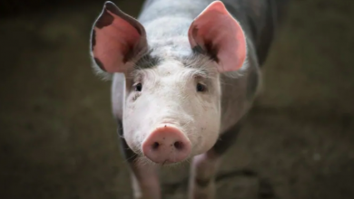 Photo of What African swine fever means for Canada's pork industry