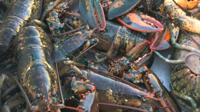 Photo of Maritime fishermen say U.S. senator Susan Collins 'misinformed' on lobster fishery