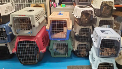 Photo of Last of more than 100 cats removed from Toronto home now in shelters or adopted