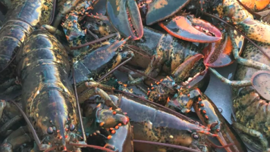 Photo of Atlantic mackerel stocks down 86% over past 20 years, says new DFO report
