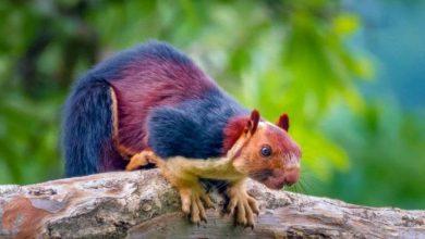 Photo of Ratufa, o esquilo colorido que apaixonou a internet