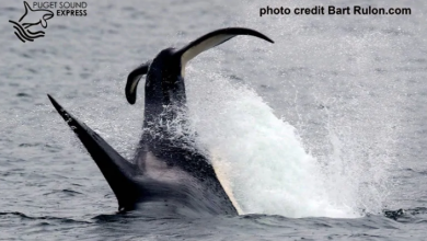 Photo of Transient orcas spotted feeding on grey whale near B.C.