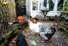Photo of The battle over backyard chickens that hatched in 1980s Toronto
