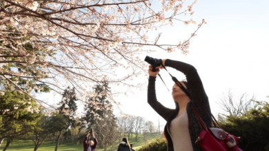 Photo of 15 Toronto parks will soon have blossoming cherry trees