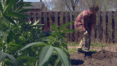 Photo of 'Price-conscious' pot consumers find backyard planting way cheaper