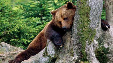 Photo of Portugal confirmou a Espanha existência de urso pardo considerado extinto