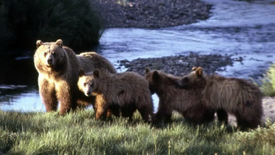 Photo of B.C. man survives attack by mother grizzly protecting her three cubs