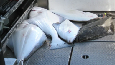Photo of Review of Atlantic halibut survey raises sustainability questions