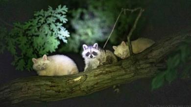 Photo of Windsor photographer snaps pic of 2 albino raccoons