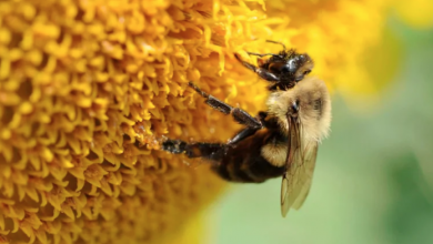 Photo of Beekeeping is booming — but it might be helping the wrong bees