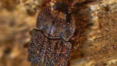 Photo of Bruxelas aprova projecto para proteger escaravelhos dos Açores