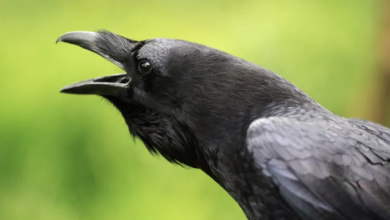 Photo of Hinterland Who's Who releases vignette on ravens in 6 Indigenous languages