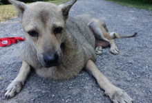 Photo of Slimmed-down dog flown to Ottawa from Bangkok for excess skin removal