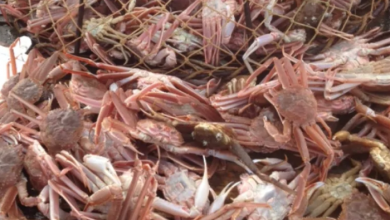 Photo of 2 Wolastoqey bands sue federal government over access to snow crab fishery