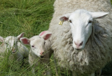 Photo of 2 Alberta flocks quarantined after fatal disease related to mad cow found in a sheep