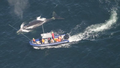 Photo of Government fines 2 cargo ships $7,800 for speeding through right whale protected zone in St. Lawrence