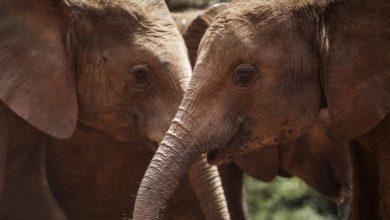 Photo of ONU proíbe venda de elefantes selvagens de África para jardins zoológicos e parques de diversão