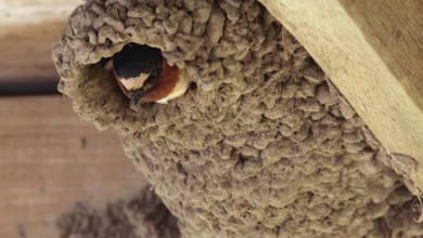 Photo of 150 cliff swallow nests allegedly destroyed at Osoyoos resort