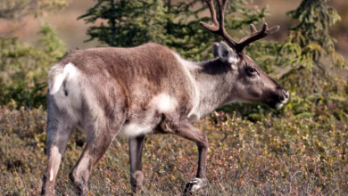 Photo of Alberta considering plan to build caribou-rearing facility
