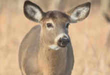 Photo of Advocates fear meat from latest infected deer herd has entered Canada's food supply