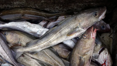 Photo of Gulf of St. Lawrence cod extinction 'highly probable,' says DFO