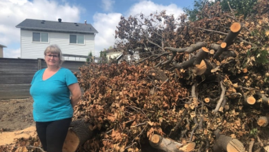 Photo of Residents upset after Brampton cuts down mature trees to widen Williams Parkway