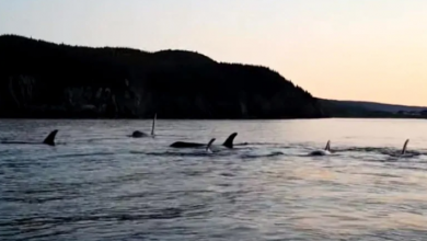 Photo of Lucky fisherman captures Orca-palooza on video near Salmon Cove