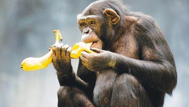 Photo of Macacos  me mordam! – Os (imensos) benefícios da banana