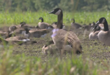 Photo of 1,000 geese from Mississauga and Oakville relocated to Jack Miner Bird Sanctuary