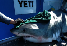 Photo of How a great white shark tagging project in Canada ran into headwinds