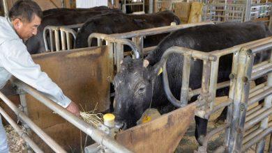 Photo of Primeira vaca clonada viveu 21 anos. Morreu quarta-feira no Japão