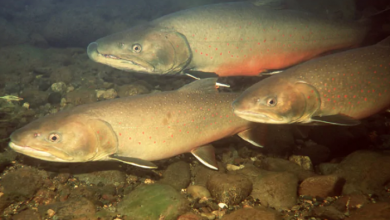Photo of Once considered a pest, Alberta's official fish is now under threat