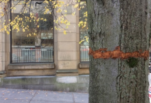 Photo of Trees in uptown Saint John in danger from vandal with knife