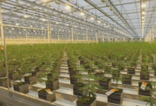 Photo of Aurora halts construction of two cannabis facilities to conserve cash