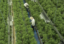 Photo of Canopy Growth reports $374.6M loss, restructures softgel and oil portfolio