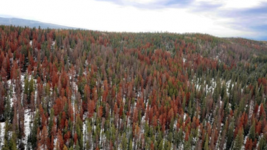 Photo of Alberta steps up pine beetle fight, challenges federal government to do the same