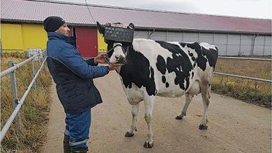 Photo of Vacas e a Realidade Virtual