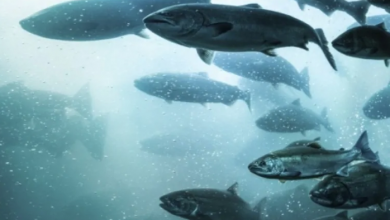 Photo of Norwegian salmon firms face $500M class action over price-fixing allegations