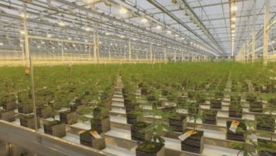 Photo of Aurora Cannabis cuts 500 jobs across company, CEO steps down