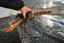 Photo of Canada poised to lose lobster edge in China in wake of U.S. trade deal