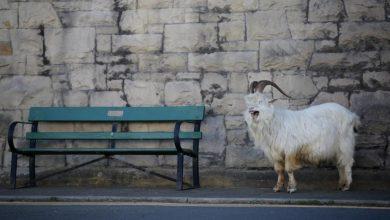 Photo of Cabras aproveitam isolamento social para passear nas ruas de Gales
