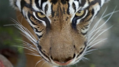 Photo of Toronto Zoo taking precautions with big cats after tiger in N.Y. gets COVID-19