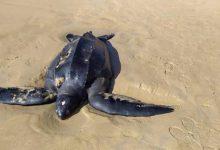 Photo of Tartaruga de 262 quilos foi encontrada morta no Porto Santo