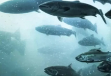 Photo of Report finds historic low for numbers of large wild Atlantic salmon