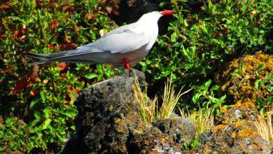 Photo of Censo de Garajaus deste ano aponta para presença de 7.950 aves nidificantes nos Açores